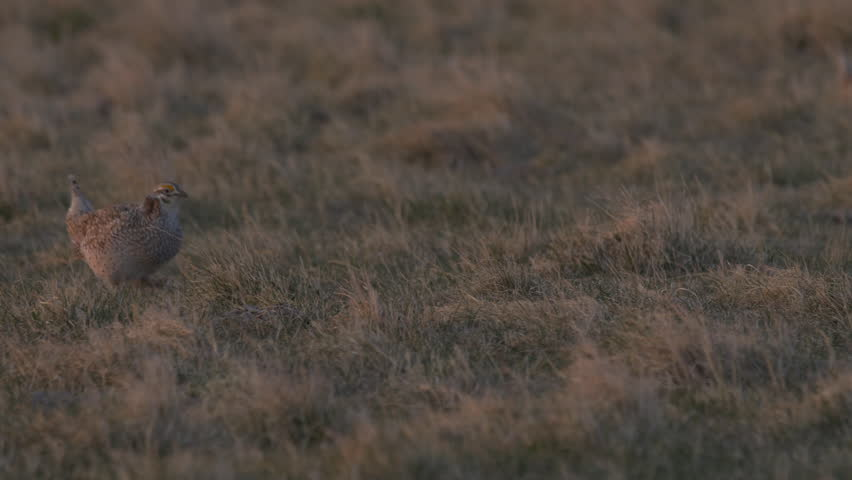 Early morning sunlight shines on dancing grouse with chirping and clucking and meadowlark singing.