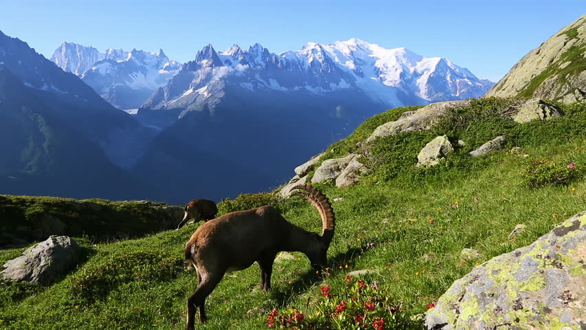 Alpine goat grazing high in the mountains. Location Mont Blanc glacier, Chamonix, Graian Alps France, Europe. Scenic footage of beautiful nature landscape. Beauty of earth. Full HD 1080p video.