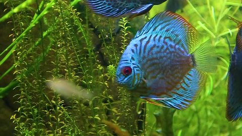 Closeup of two beautiful bright blue colorful healthy discus fish swimming in aquarium water. Real time hd video footage.
