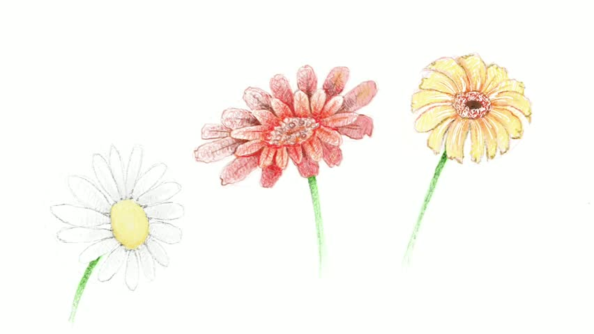 Symbol of Love, Motion Clip of Bright and Beautiful Gerbera and Osteospermum Daisy Flowers or Cape Daisy Blossoms Isolated on White Background.