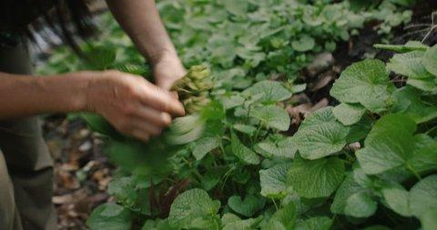Woman foraging Japanese wild herb, WASABI