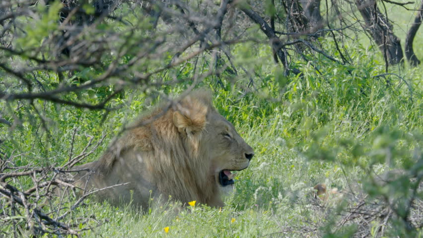 Lion rest in grass in Namibia Africa