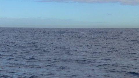 Synchronized Humpback Whales (Megaptera novaeangliae). Image in Vitoria, Espirito Santo, Brazil.