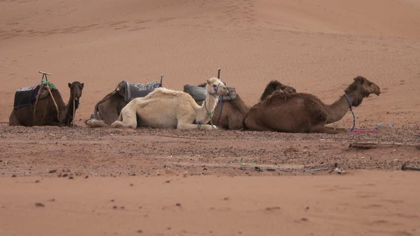 Group of camels resting in Sahara desert, 4k