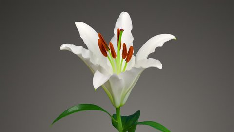 Beautiful time lapse of a lily opening up.