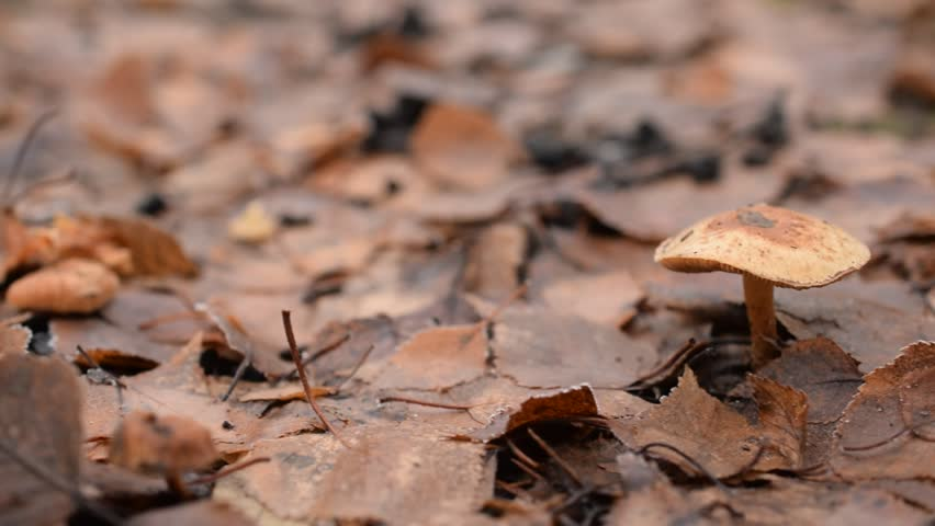 Toadstool in a forest in autumn on background of yellow fallen leaves. Panning shot.