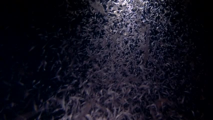 Mass of krill in the beam of a lantern at night