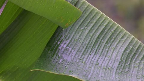 Banana Tree Leaf under Rain
