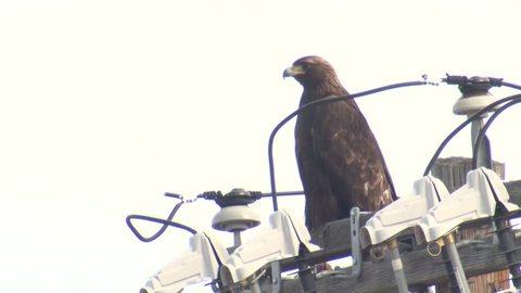 Golden Eagle Adult Lone Perched Looking Around Powerline Transformer Pole Electrocution Wires Electricity Dangerous Closeup