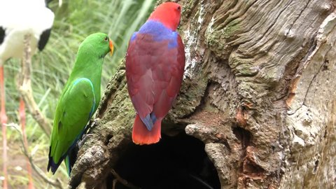 Eclectus Parrot Male Female Adult Pair Perched Resting Red Green Dimorphism