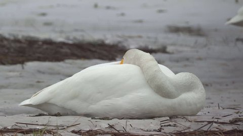 whooper swan laying on ground sleeping open one eye watching