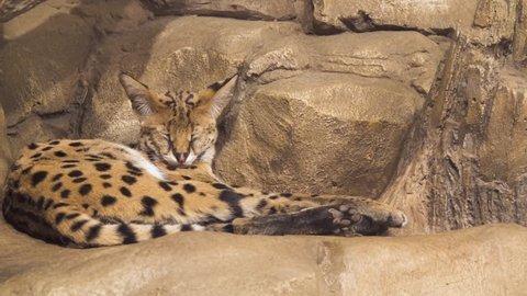 Sleeping beautiful serval closeup slow motion