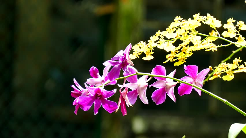 Orchid flower. Royalty high quality free stock footage of beautiful pink orchid flower. The Orchidaceae are a diverse and widespread family of flowering plants   Shutterstock HD Video #1009672004