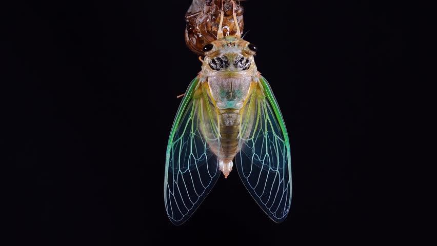 Emergence of cicadas 2-1. Black cicada.