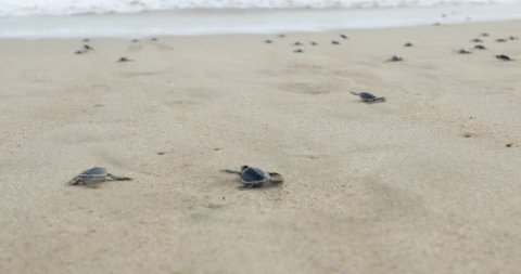 Video footage of little sea turtles crawling on the white sand beach toward the sea at Pangumbahan beach, Sukabumi, West Java, Indonesia. Shot in 4k resolution