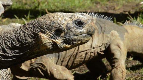 Big galapagos giant tortoise walking- Chelonoidis ngra