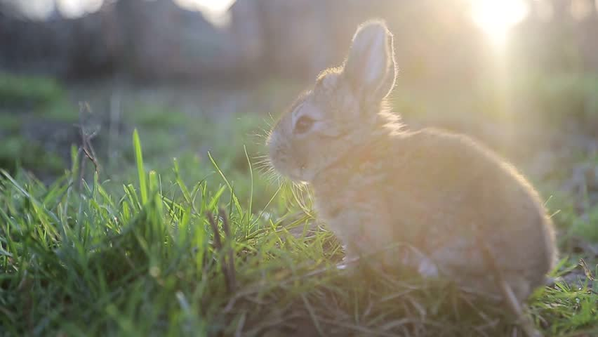 little rabbit eats the grass on a Sunny day, banny grey