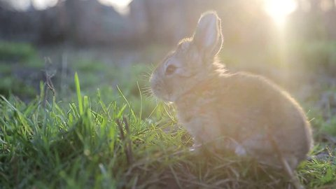 little rabbit eats the grass on a Sunny day, banny grey