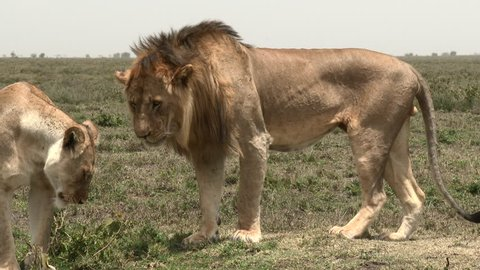 Lion (Panthera leo) couple in courtship, female is relaxing on the ground while male is standing next to her