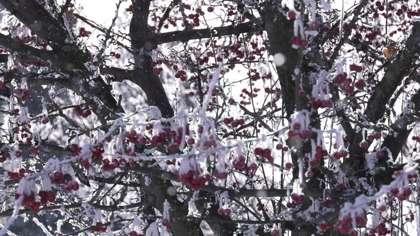 Snow falling around berry tree on beautiful winter day | Shutterstock HD Video #1009855274