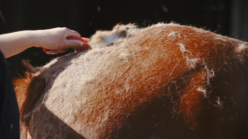 Shedding horse hair in slow motion 4K. Long shot of person's hand in focus while shedding horse brown butt. | Shutterstock HD Video #1009861604