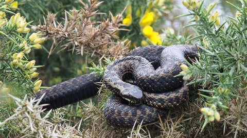 Adder Snake ( Vipera berus ) Laying on a Gorse Bush.