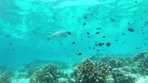 Bumphead Parrotfish fish at cleaning station on Sipadan Island, Malaysia