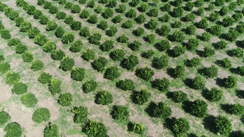 Aerial drone view footage of Citrus orchard genus of flowering trees these genus produce citrus fruits including important crops like oranges lemons grapefruit pomelo and limes 4k high resolution