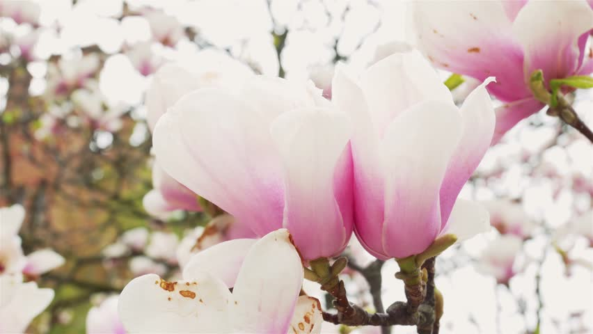 4k0008beautiful Pink And White Flowers Of Magnolia Bloom Closeup In
