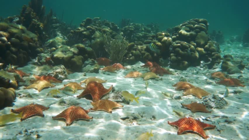 Cushion starfishes underwater on the sand with some tropical fish and corals in background, natural light, Caribbean sea, 50fps