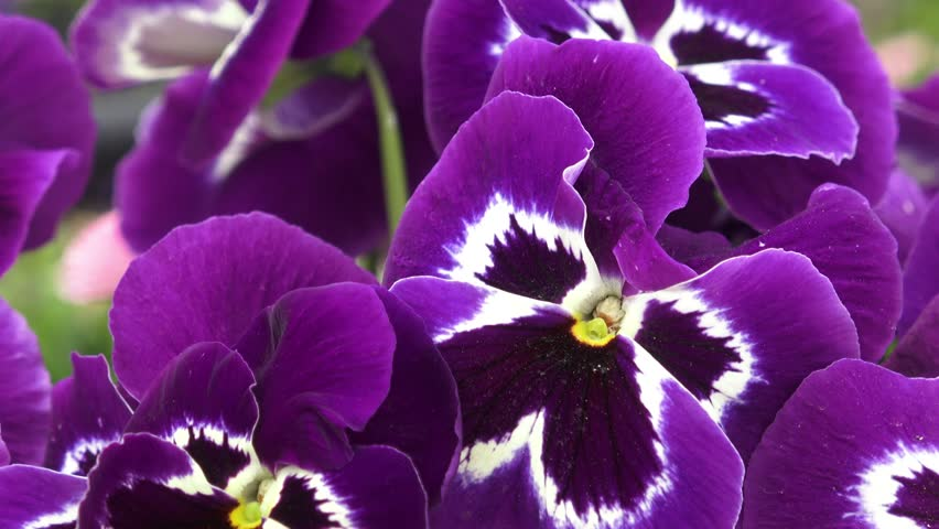 Close up of some purple pansy ( Viola x wittrockiana ) flowers in a garden are moving in wind