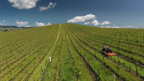 Aerial view farmer on tractor mowing weeds between rows of grapevines in picturesque vineyard landscape. Napa Valley, California.