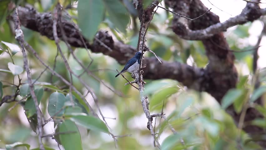 Beautiful adult Ultramarine flycatcher (Ficedula superciliaris), angle view, very alert bird, foraging on the old branch in nature background at high mountain, northern Thailand.