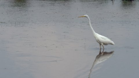 Great egret (Ardea alba) fishing whilst wading in a lake. Common egret, large egret or great white egret.