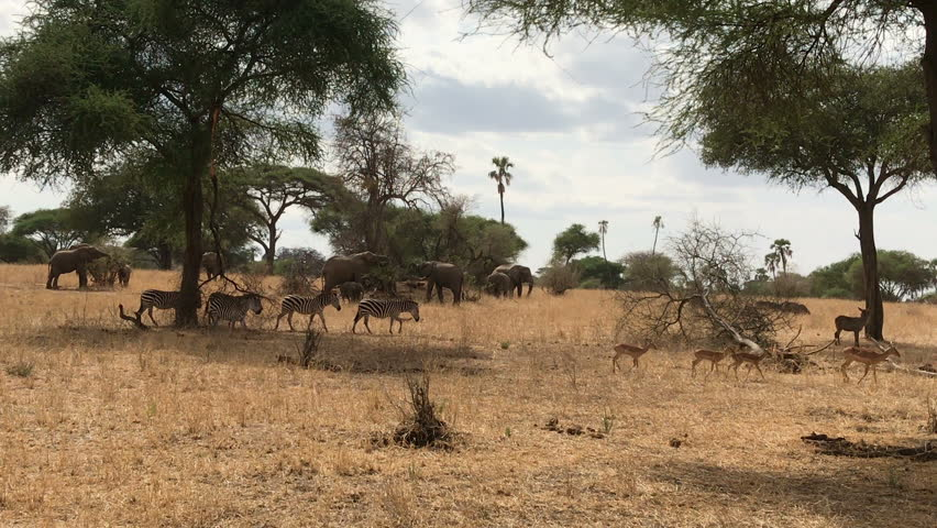 Elephant and zebra at tarangire national park Tanzania