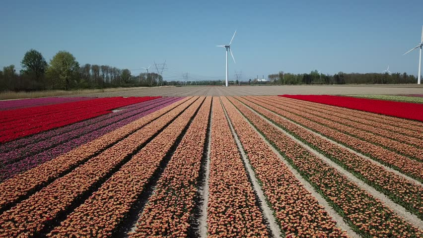 Aerial of beautiful colored tulip fields in the Netherlands, Flevopolder, in spring    Shutterstock HD Video #1010235374