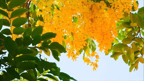 Beautiful yellow Cassia fistula flower with green leaves sway in a warm spring breeze at a botanical garden.