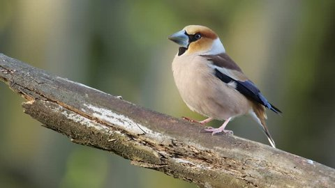 Hawfinch. Adult male in spring forest.
