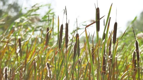 dried rush and reed Cattails swamp grass high the nature landscape outdoors Russia