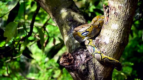 Beautiful close up of Phyton snake rest on the tree.