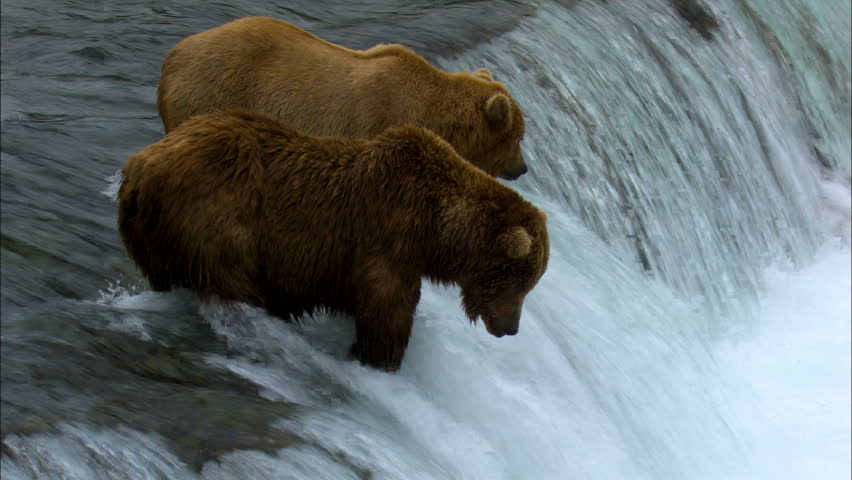 Large brown bear catching fish at Brooks Falls while other bears hunt forest wilderness National Park and Reserve Alaska USA