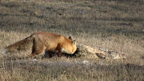 wild animal red fox Vulpes eating  roe deer carrion on  field