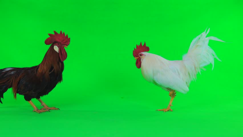 Fights of two cocks on a green background | Shutterstock HD Video #1010434394
