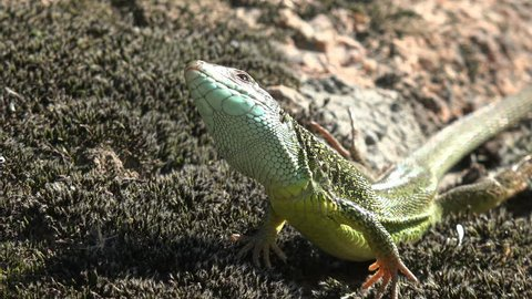 Lizard close up. European green lizard (Lacerta viridis), stone and green plant. How do reptiles behave. Wild nature and animal background. Small lizard close-up on mountain rock. Wildlife, reptile