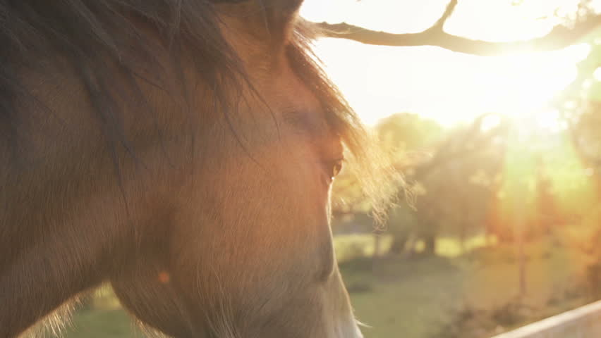 Horse At Sunset Eating Grass In Slow Motion. Close-Up shot of a horse eating grass at sunset filmed at 240fps. #10104572
