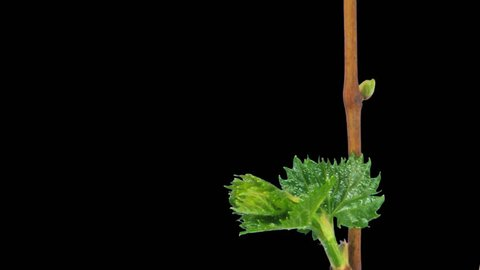 Time-lapse of growing grapevine branch 2b1 in PNG+ format with ALPHA transparency channel isolated on black background