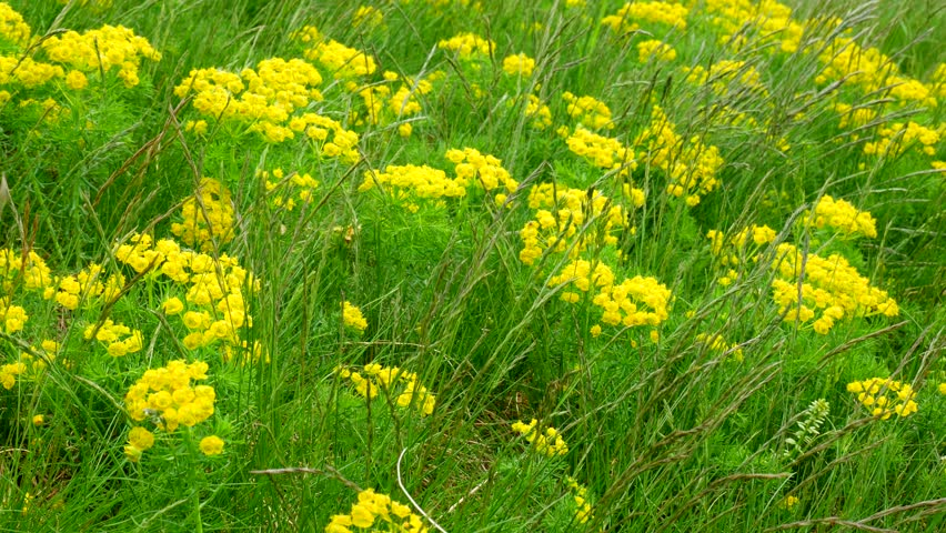 Cypress spurge - Euphorbia cyparissias under high grass, including the sound of a light breeze and birds in the background