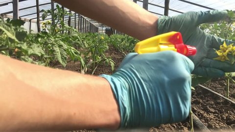 hand holding flower of tomatoes for preparing to pollination