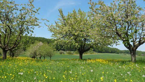 apple tree blossoms in orchard. at Ziefen, Switzerland