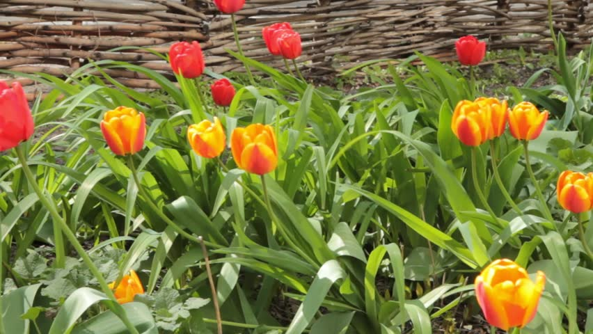 Tulip flowers blooming in Spring. Colorful tulips blooms swaying in the wind. Gentle wind moving through field with many tulips, sunny day. HD video in horizontal motion.